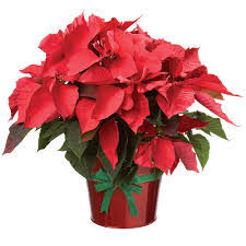 poinsetta plant thanksgiving in east northport ny flowers by fred
