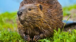 beaver closeup ngsversion 1469132769371 adapt 1900 1 jpg