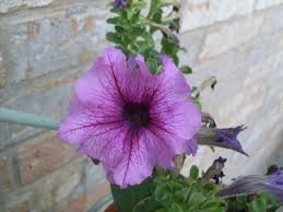 petunia flowers dealing with non blooming petunias how to make petunia bloom