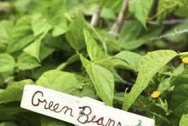 How To Grow Green Beans On A Trellis The Best Green Bean Trellis Home Guides Sf Gate