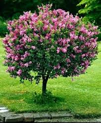 small ornamental trees for landscaping standard lilac really a