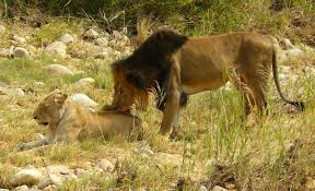 imagenes de leones salvajes gratis fotos gratis naturaleza desierto aventuras piedra fauna