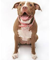 american pitbull terrier puppies louisiana american pit bull terriers u2013 american pit bull terrier puppies for