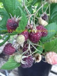 How To Grow Grapes In Your Backyard by How To Grow Raspberries From Seeds Backyard Food Growing