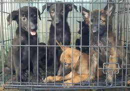 belgian malinois jet black new and used dogs for sale in the philippines olx philippines
