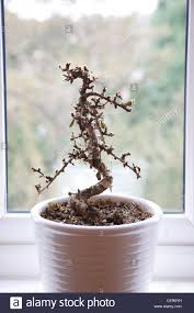 dead bonsai tree house plant in white pot on windowsill stock
