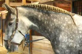 hairstyles for horses securing a running braid equestrian