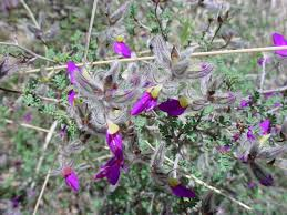 vascular plants of the gila wilderness vascular plants of the gila wilderness dalea formosa