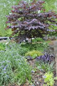 ornamental trees mecklenburg extension master gardener volunteers