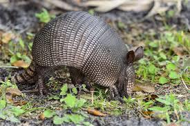 Oklahoma wildlife images Wildlife control wildlife management oklahoma termite