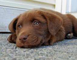 australian shepherd lab mix for sale 17 best puppies images on pinterest animals lab mixes and