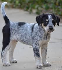 belgian shepherd golden retriever mix simi valley ca golden retriever meet patches a dog for adoption