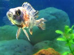 freshwater fish freshwater fish city pets and ponds