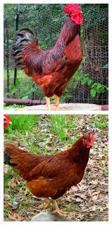 heritage chicken breeds for your backyard with raising chickens in