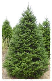 balsam fir christmas tree silent evergreens wholesale balsam fir fraser fir scotch