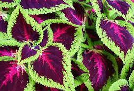 How To Grow Coleus Plants by Garden Design Garden Design With Coleus Plant Care For Color In