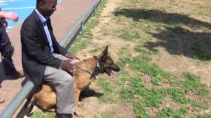 belgian shepherd for sale south africa hermiona k9 manof personal protection knife attack protection