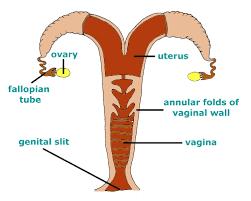 Male Dolphin Anatomy 18 Diagram Gif