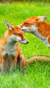 sleeping red fox wallpapers images of red fox wallpaper sc