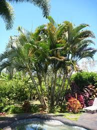 native hawaiian plant nursery areca palm kauai seascapes nursery inc