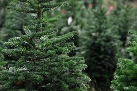 christmas christmas beautiful fresh cut trees at tree farm stock