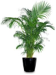 areca palm great indoor house plant that purifies the air home