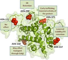 role of glycosylation in nucleating protein folding and stability