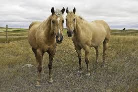 meet the american quarter horse