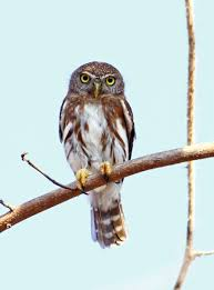 colima pygmy owl introduction neotropical birds online