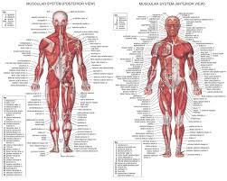 Human Anatomy Male Anatomy Of Human Muscles Human Anatomy Male Muscles Royalty Free