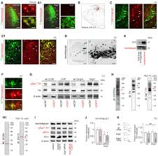 Hypothalamic CNTF volume transmission shapes cortical noradrenergic