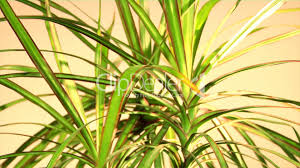 Dracaena Marginata Dragon Tree Dracaena Marginata Tricolor Royalty Free Video And