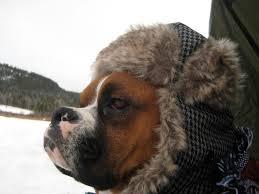 boxer dog howling boxer dog blogs benny wrinklebottom