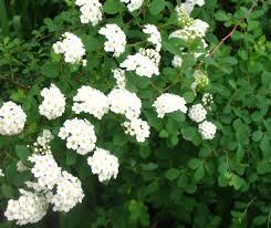 Flowering Privacy Shrubs - views from the garden bridal wreath spirea