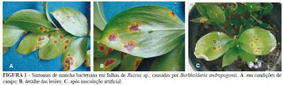 Australasian Plant Disease Notes - bacterial leaf spot on ruscus sp caused by burkholderia