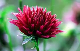 dalia in vaso come coltivare la dalia varietà consigli e cure