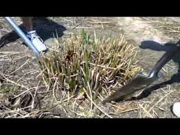 how to dig and divide ornamental grasses tip from alwerdts gardens