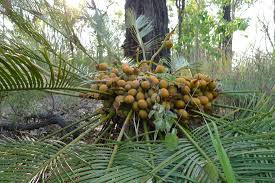 seed collection of australian native plants collecting cycads in queensland australia evolution of plants