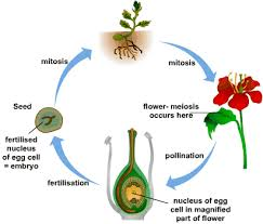 sexual reproduction in flowering plants s cool the revision website