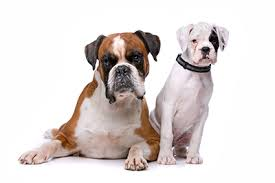 boxer dog 2 months old dog lovers know the best dog foods for boxer breed dogs puppies