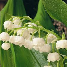 of the valley flower buy of the valley convallaria majalis delivery by crocus