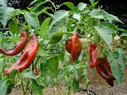 growing peppers bonnie plants