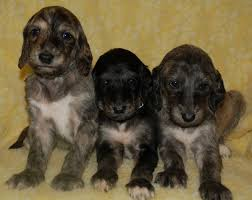afghan hound rescue england afghan hound info temperament mixes training puppies pictures