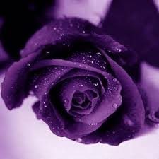 different color roses 115 best purple roses images on purple flowers