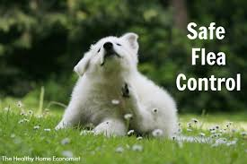 Backyard Flea Treatment by Safe Flea Control For Pets No Drugs And No Pesticides Video