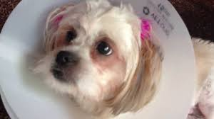 shih tzu puppies jing jing and lulu spayed dog breed puppy