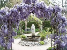 Pflanzen Fur Japanischen Garten Wisteria At Cambria Pines Lodge Blauregen Kletterpflanzen Und