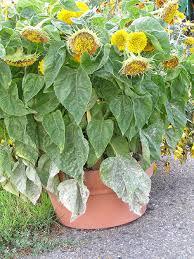 powdery mildew in the flower garden