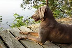 Living With A Blind Dog Weimaraner Dog Breed Information Pictures Characteristics