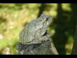 how to find a grey tree frog